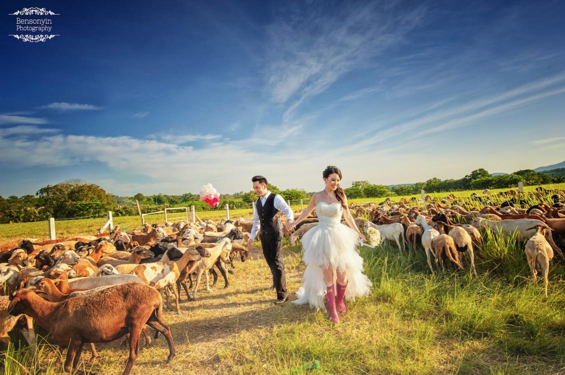casal tirando foto para pré-wedding no meio das cabras na fazenda